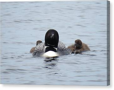 Loon With Chicks Canvas Print