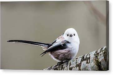Canvas Print featuring the photograph Loong Tailed by Torbjorn Swenelius