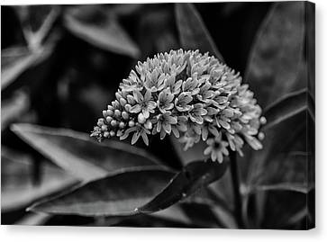 Loosestrife - Black And White Canvas Print