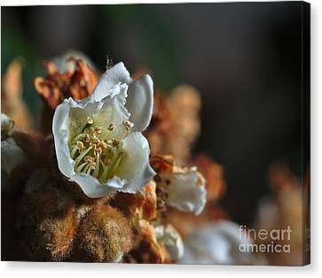 Loquat Flower Canvas Print by Angelo DeVal