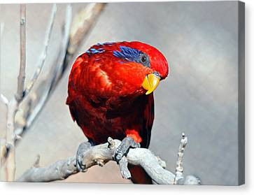 Lorikeet 1 Canvas Print