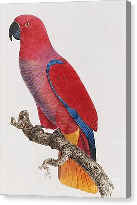 Lorikeet Canvas Print by Jacques Barraband