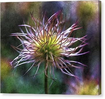 Lost Blooms Of A Pasqueflower Canvas Print by Georgiana Romanovna