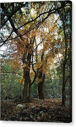 Canvas Print featuring the photograph Lost Maples State Park Tree 41 by Karen Musick