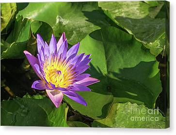 Lotos Flower  Canvas Print by Evgeny Drablenkov