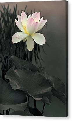 Lotus Aglow Canvas Print