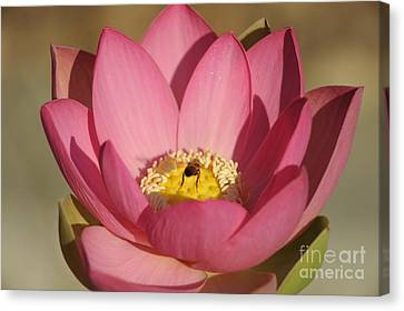 Lotus And Bee Canvas Print