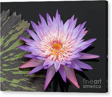 Counterpoint Canvas Print - Lotus And Leaf Counterpoint by Barbie Corbett-Newmin