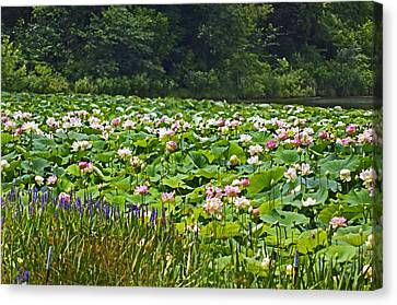 Lotus And Pickerelweed Canvas Print by Paul Mashburn