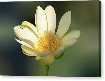 Canvas Print featuring the photograph Lotus Beauty by Carolyn Dalessandro
