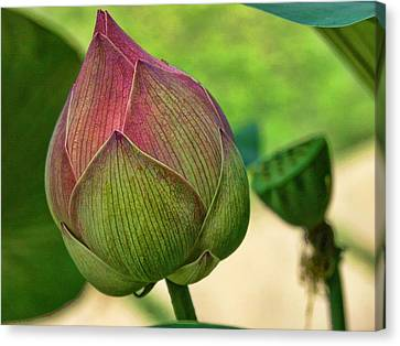 Lotus Dreaming 3 Canvas Print
