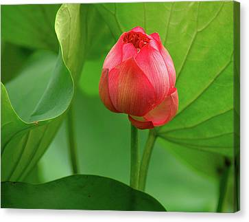 Canvas Print featuring the photograph Lotus Flower by Harry Spitz