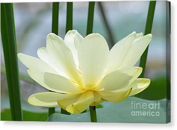 Lotus Flower In Full Bloom  Canvas Print