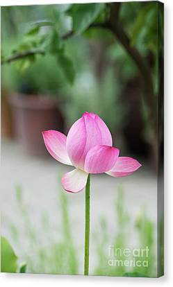 Aquatic Plant Canvas Print - Lotus Frankly Scarlet by Tim Gainey
