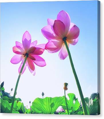 Lotus Garden Canvas Print by Hidehiko Sakashita