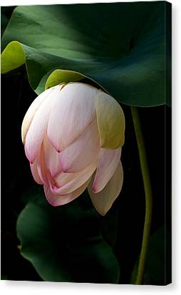 Lotus Leaves Canvas Print - Lotus In The Evening  by Catherine Lau