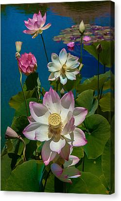 Lotus Pool Canvas Print