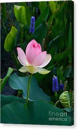 Lotus With Blues Canvas Print