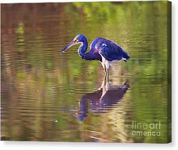 Louisiana Heron Canvas Print