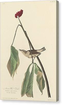 Louisiana Water Thrush Canvas Print by Rob Dreyer