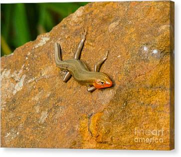 Lounging Lizard Canvas Print by Rand Herron
