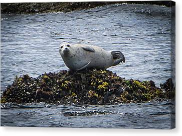 Lounging On The Rocks Canvas Print