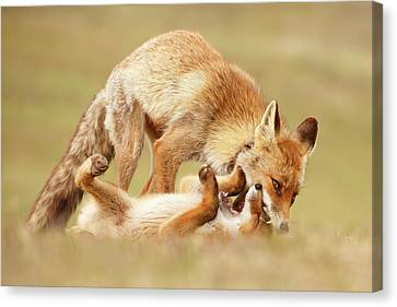 Bonding Canvas Print - Love Bites - Mother Fox And Fox Kit by Roeselien Raimond