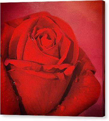 Canvas Print featuring the photograph Love Is A Red Rose With Raindrops by Diane Schuster