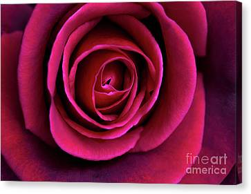 Canvas Print featuring the photograph Love Is A Rose by Linda Lees