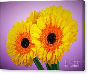 Lovely And Beautiful - Gerbera Daisies Canvas Print