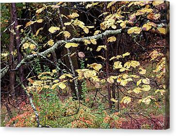 Lovely Autumn Witch Hazel -   Canvas Print