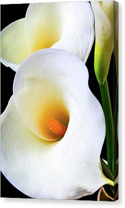 Lovely Beautiful Calla Lily Canvas Print by Garry Gay