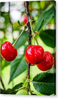 Lovely Cherries Canvas Print by Amy Turner