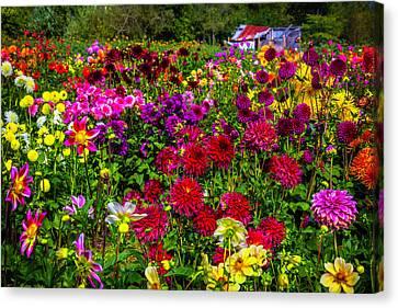 Lovely Dahlia Garden Canvas Print by Garry Gay
