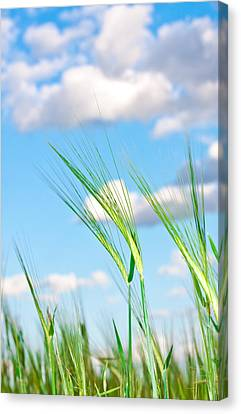 Lovely Image Of Young Barley Against An Idyllic Blue Sky Canvas Print by Tom Gowanlock