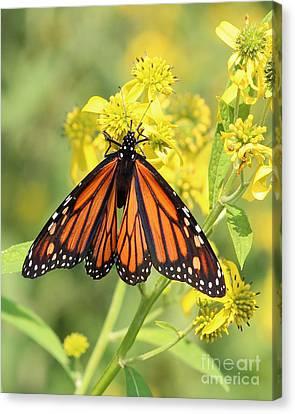 Lovely Monarch Canvas Print by Anita Oakley