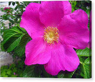 lovely rose of Texas Canvas Print by Tina M Wenger