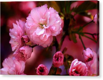 Lovely Spring Pink Cherry Blossoms Canvas Print by Shelley Neff