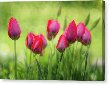 Lovely Tulips Canvas Print
