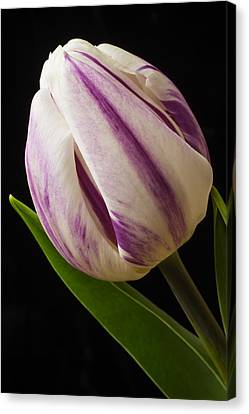 Lovely White And Purple Tulip Canvas Print