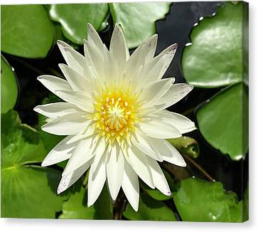 Lovely White Waterlily Canvas Print