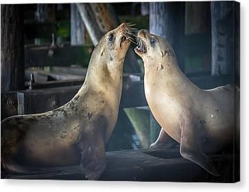 Harbor Seals Lovers Quarrel Canvas Print by James Hammond