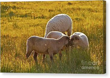 Lovin Lambs Canvas Print by Gus McCrea
