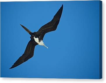 Low Angle View Of A Frigatebird Flying Canvas Print by Panoramic Images