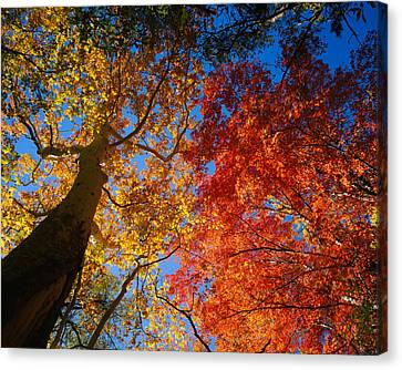 Low Angle View Of A Sycamore Tree Canvas Print by Panoramic Images