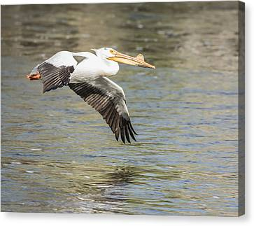 Flying White Pelicans Canvas Print - Low Flyer by Thomas Young