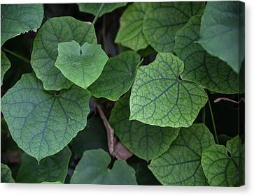 Low Key Green Vines Canvas Print