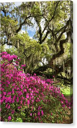 Lowcountry South Carolina Spring Azalea And Live Oak Canvas Print by Mark VanDyke