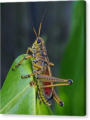 Lubber Grasshopper Canvas Print by Richard Rizzo
