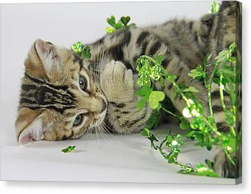 Lucky Kitten Canvas Print by Shoal Hollingsworth
